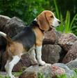 """""""Beagle Training"""" Guide"""