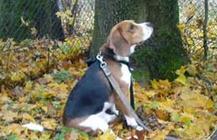 Training Beagle To Sit