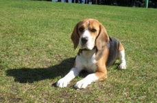 Training a Beagle to Lay Down