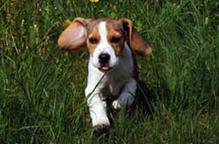 Teaching a Beagle to Come To You