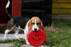 How to Train a Beagle To Fetch